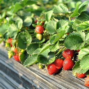 Erdbeeren Im Garten Winterfest Machen erdbeeren 252 berwintern balkonerdbeeren winterfest machen