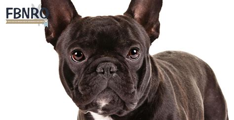 french bulldog network rescue organisation south africa