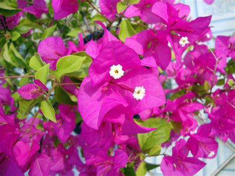Bougainvillea  Dwarf  Plant   Buy Plants Online India