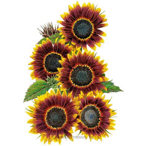 shock  lat sunflower seeds view  flowers botanical