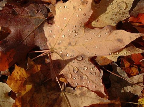 shedding in fall why trees shed their leaves earth earthsky