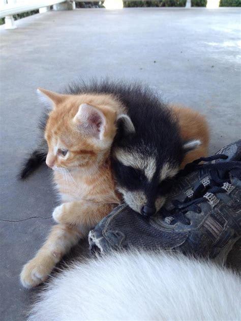 friends cat  raising  abandoned raccoon