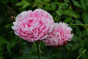 Peonies Flowers HD Wallpaper