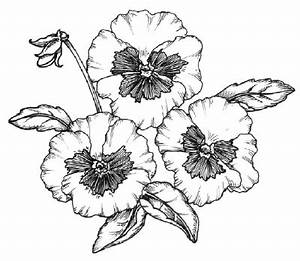How to Draw a Pansy HowStuffWorks