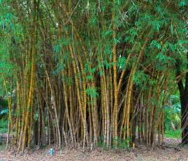 transplanting bamboo how and when to relocate bamboos