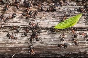 Ameisen Im Haus Ursache : was hilft gegen ameisen im haus tipps hausmittel ~ A.2002-acura-tl-radio.info Haus und Dekorationen