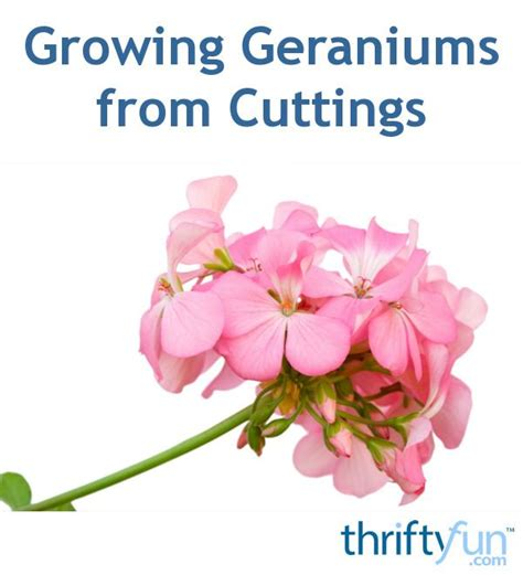 starting geraniums from cuttings 1000 ideas about geraniums on pinterest hardy geranium red geraniums and scented geranium