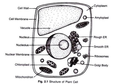 Structure Plant Cell Explained With Diagram