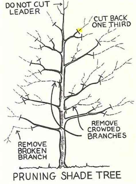 how to prune a crabapple tree how to prune trees landscaping pinterest