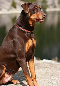 Harley the Doberman Mix | animals and insects | Pinterest ...