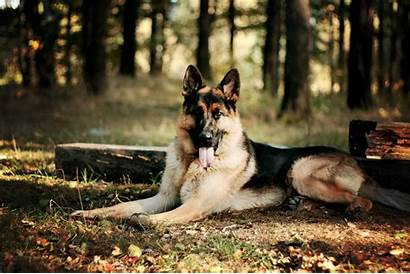 German Shepherd Wallpapers Police Dog Sheperd