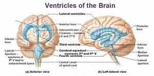 Cns Brain  U0026 Cranial Nerves At Arizona State University