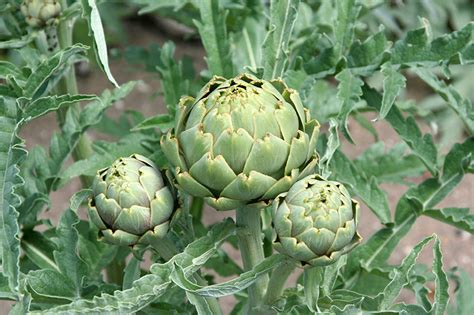 Images Of Artichokes Growing Artichokes Bonnie Plants