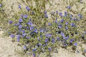 Blau Blühender Bodendecker : blau bl hender natternkopf echium angustifolium runterlade ~ Frokenaadalensverden.com Haus und Dekorationen