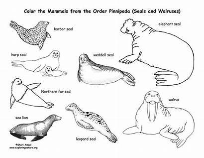 Coloring Sea Seals Pinnipedia Lions Arctic Pages