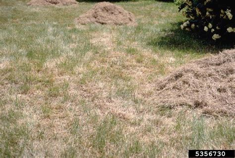 How To Treat Brown Patch Lawn Fungus Download Free