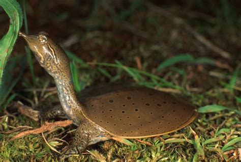 softshell turtle slow as a wtf funny