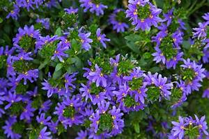 Scaevola  Care And Growing Guide
