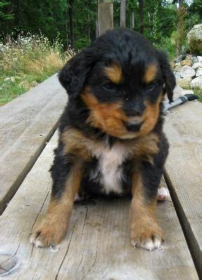 golden mountain dog golden retriever bernese mountain mix