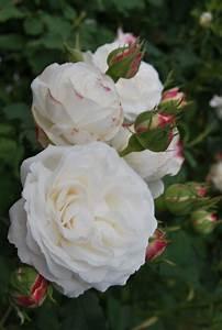 Boule De Rose : 39 boule de neige 39 bourbon rose white bourbon lacharme 1867 roses pinterest cute gift ~ Teatrodelosmanantiales.com Idées de Décoration