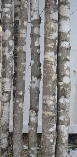 Highest Quality Birch Branches, Poles, Logs, Stumps & Slabs