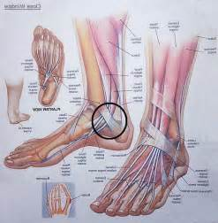 Left Foot Bone Anatomy