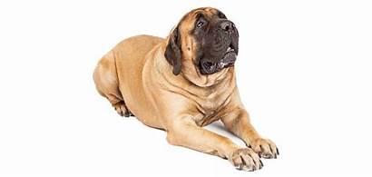 Mastiff Breed Breeds Rescue Dog Purebred Spdr