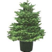 sapin de no 235 l nordmann en pot 1 10 m prix livr 233 54 90 plantes et jardins