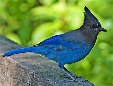 stellar blue jays are very much at home in yosemite