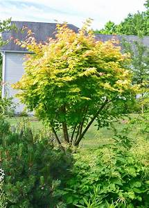Plant Inventory at 20 Timothy : Acer palmatum / Japanese ...  Maple