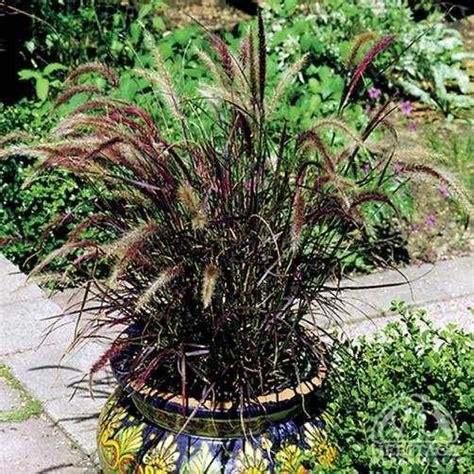 is purple grass a perennial or annual plant profile for pennisetum setaceum rubrum purple fountain grass perennial