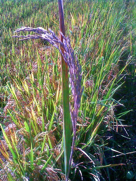 ana hedjo gambar gejala hama penyakit tanaman padi