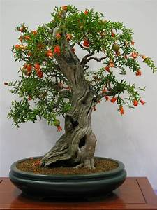 Bonsai Baum Pflege : pomegranate bonsai tree google search bonsai pinterest bonsai bonsai baum und bonsai ~ Orissabook.com Haus und Dekorationen