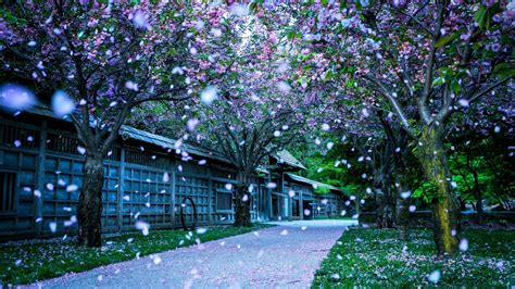 Blue Cherry Blossom Wallpaper Download Awesome Nature Wallpapers In Full Hd