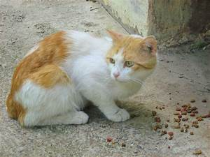 Ginger-White Cat — Russian Cats Pictures