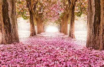 Pink Nature Park Flower Tree Sakura Alley