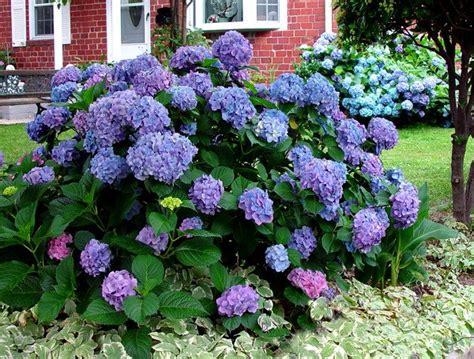 come curare l ortensia in vaso come curare le ortensie in giardino e in casa idee green