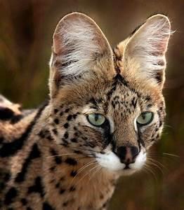 serval | animali | Pinterest