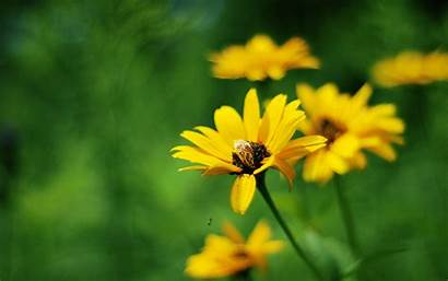 Flowers Summer Yellow Wallpapers Background Widescreen Definition
