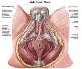 male pelvic floor muscles anatomy diagram body of anatomy