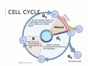 In What Phase Of The Cell Cycle Do Mitosis And Cytokinesis