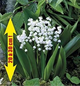 Quand Planter Le Muguet : planter des griffes de muguet ~ Melissatoandfro.com Idées de Décoration