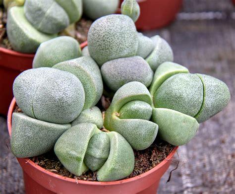 lebende pflanzenbilder kaufen lebende steine foto bild deutschland europe rheinland pfalz bilder auf fotocommunity