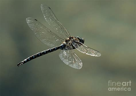 dragonfly in flight photograph by bob christopher
