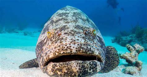 grouper goliath florida kerapu ikan fishing season jenis sportdiver legal termahal diver indonesia menu sport population
