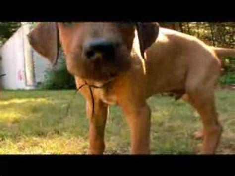 rhodesian ridgeback video animal planet youtube
