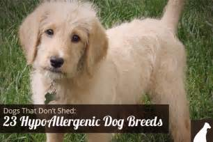 hypoallergenic dogs that don t shed litle pups