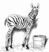 Zebra Coloring Pages Animals Sketch Printable Wildlife Head Bucket Getcoloringpages Realistic sketch template