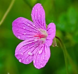 Pink Flower with Raindrops by dariuszwozniak on DeviantArt