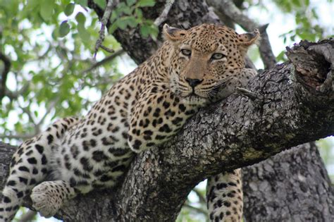 African Leopards Animals